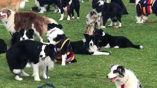Download Almost 600 Border Collies Gather in Attempt to Break World Record 3Gp Mp4