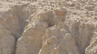 Download Wolf Hunts Down Goat in Dramatic Desert Chase 3Gp Mp4
