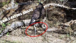 Eagle vs Snake | Ranthambore National Park