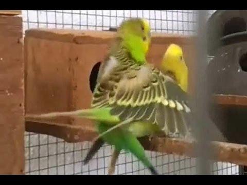 New Lovebirds Parrot Progress All Pairs Start Breeding ...