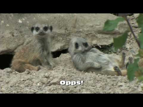 Cute Baby Meerkats Born