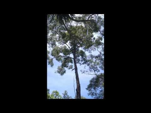 Pine bark extract relieves acute hemorrhoids symptoms