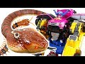 Terrible King Cobra appeared in Tayo town! Go Miniforce 4 com...