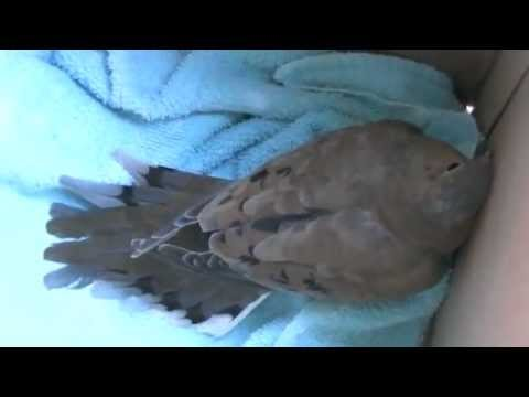 Rescued Morning Dove | NC Nature News