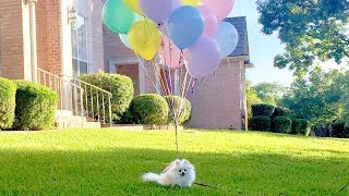 Tiny Dog takes a walk with Balloons