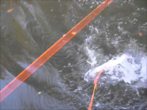 Bowfishing Illinois River Bowfishing Illinois River