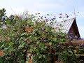 Жимолость Каприфоль и роза зацветают повторно в августе mp3