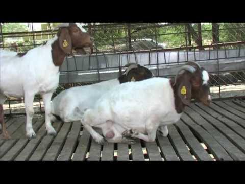 Nimbkar Boer Goat Farm 4 : Husbandry(Caring)