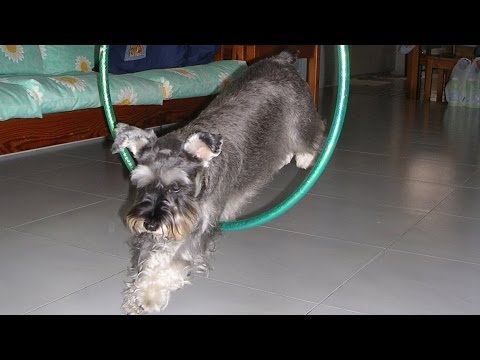 Dog tricks - Whisky the smartest miniature schnauzer ever!