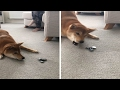 Hilarious Shiba Inu Hates Fidget Spinner MP3