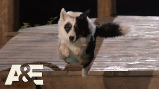 Maker the Border Collie Runs Obstacle Course in UNDER 2 MINUTES | America's Top Dog (Season 1) | A&E