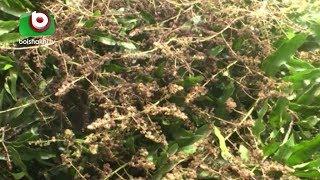 সাতক্ষীরায় আম বাগান পরিচর্যায় ব্যস্ত সময় পার করছেন চাষীরা   Satkhira Mango Garden   Latest News