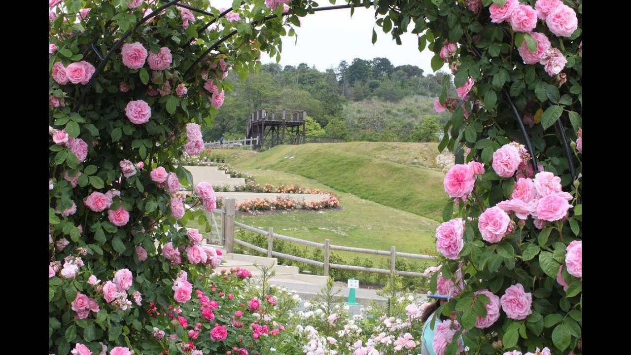 Most beautiful rose gardens in the world - David Austin Rose Gardens At Sennan Osaka Pref Japan In Spring 2013