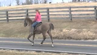Smoky Silver Grullo Stallion - Rocky Mountain Horse