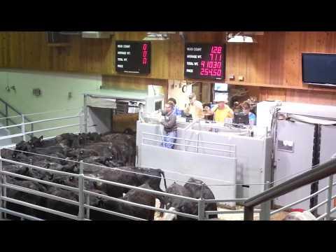 Dunlap Livestock Auction, big string of cattle