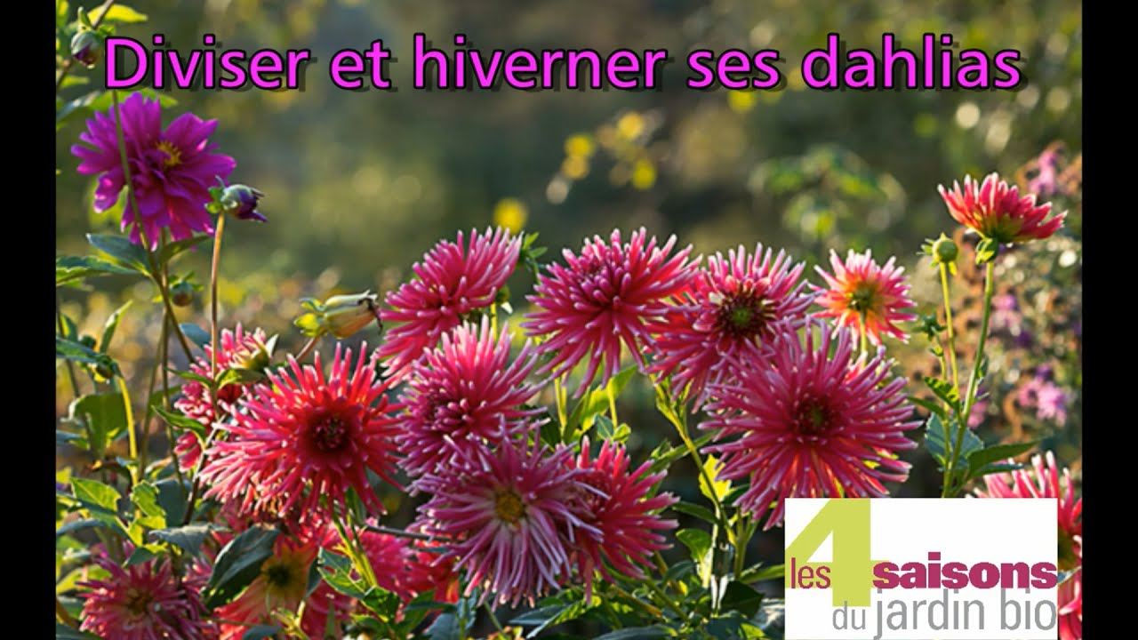 les 4 saisons du jardin bio diviser et hiverner ses dahlias youtube. Black Bedroom Furniture Sets. Home Design Ideas