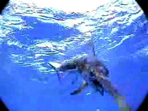 Swimming with Billfish