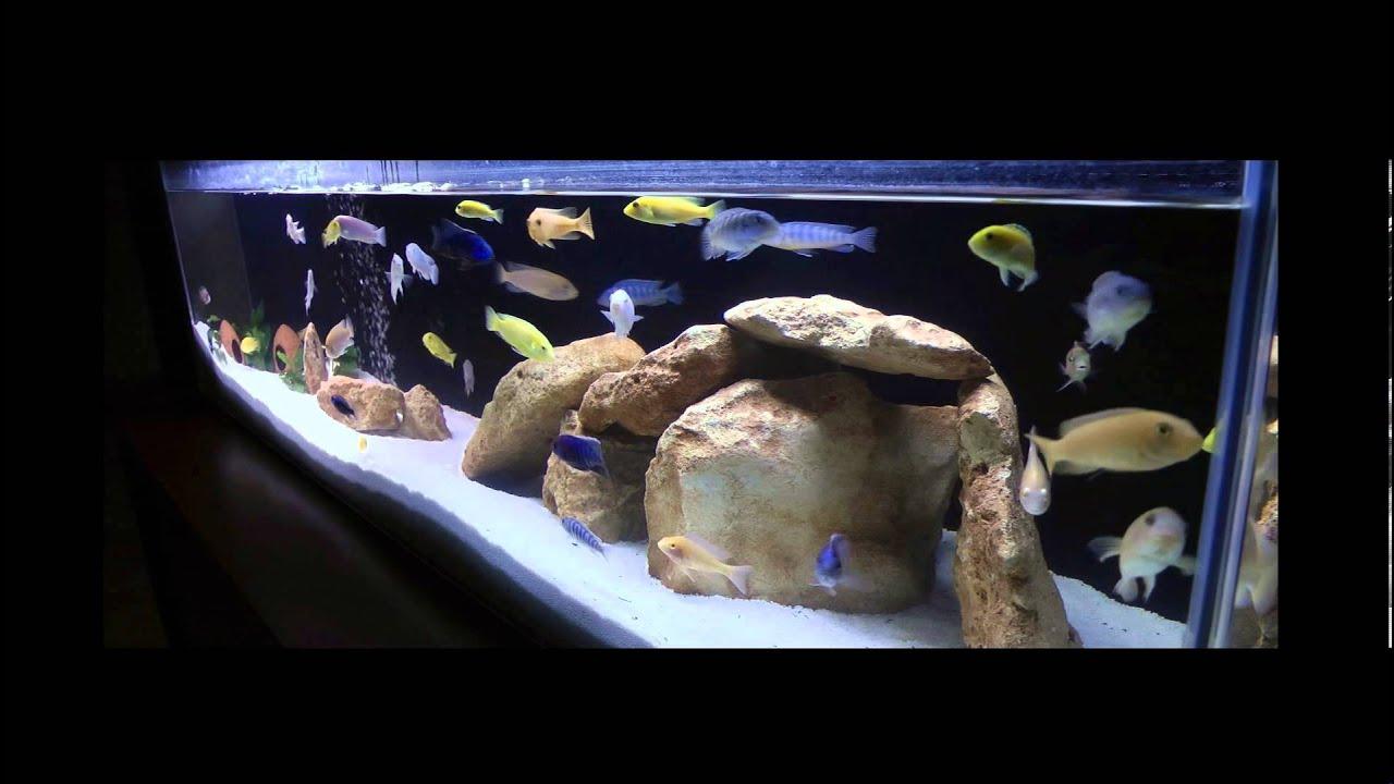 African Cichlid Aquarium Youtube