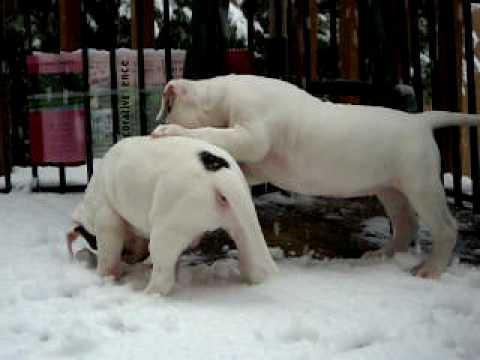 100% JOHNSON AMERICAN BULLDOG PUPPIES PLAYING IN GEORGIA SNOW 02/2010