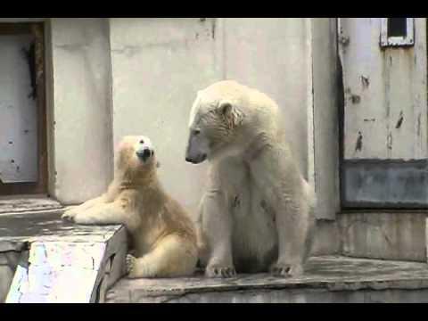 円山動物園ホッキョクグマ まったりモードなララとコグマ 2011.7.17