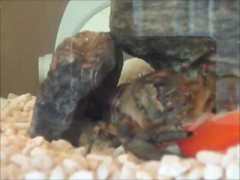 Un crevisse d 39 aquarium mange un poisson rouge crawfish for Poisson rouge aquarium 10l