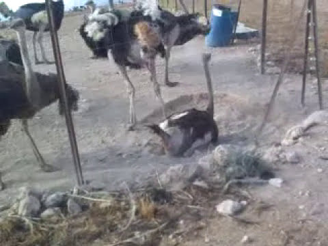 Avestruces copulando - Ostriches mating