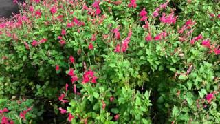 Salvia Microphylla - San Carlos Festival Cherry Sage HD 01