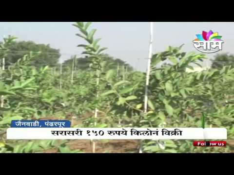 Kiran Danole's guava farming success story