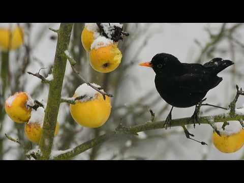 Apfelernte im Winter