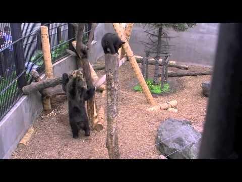 木に登るエゾヒグマの親子(旭山動物園)~Hokkaido Brown Bear at Asahiyama Zoo