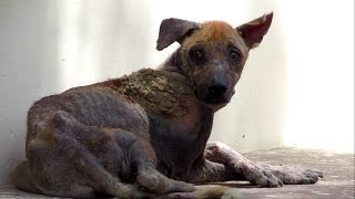 Amazing transformation of rescued street dog dying from mange