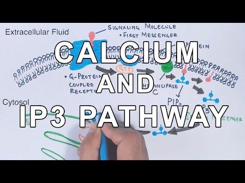 Calcium & IP3 Pathway
