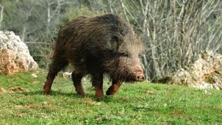 Hunting for wild boar. excellent selection of video real hunt