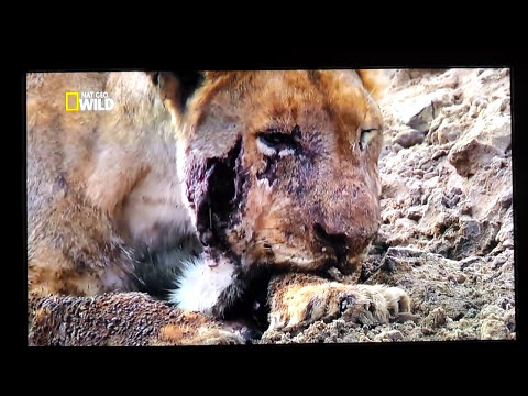 Leoa tem a mandíbula quebrada por Hipopótamo! Hippo breaks the jaw of a Lioness and she dies!
