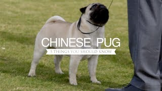 PUGS FIVE THINGS YOU SHOULD KNOW