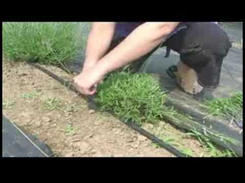 A Guide to Lavender : Pruning Lavender