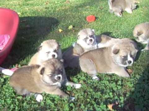 Akita Inu: Chiots Akemi 25 jours/Akemis puppies 25  days (05/10/2009 O Chanur Kennel)