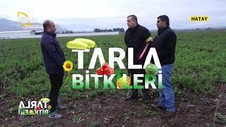 Bezelye Yetiştiriciliği - TARLA BİTKİLERİ / Çiftçi TV