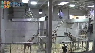 Hope Giraffe Cam #TopZooKTWU