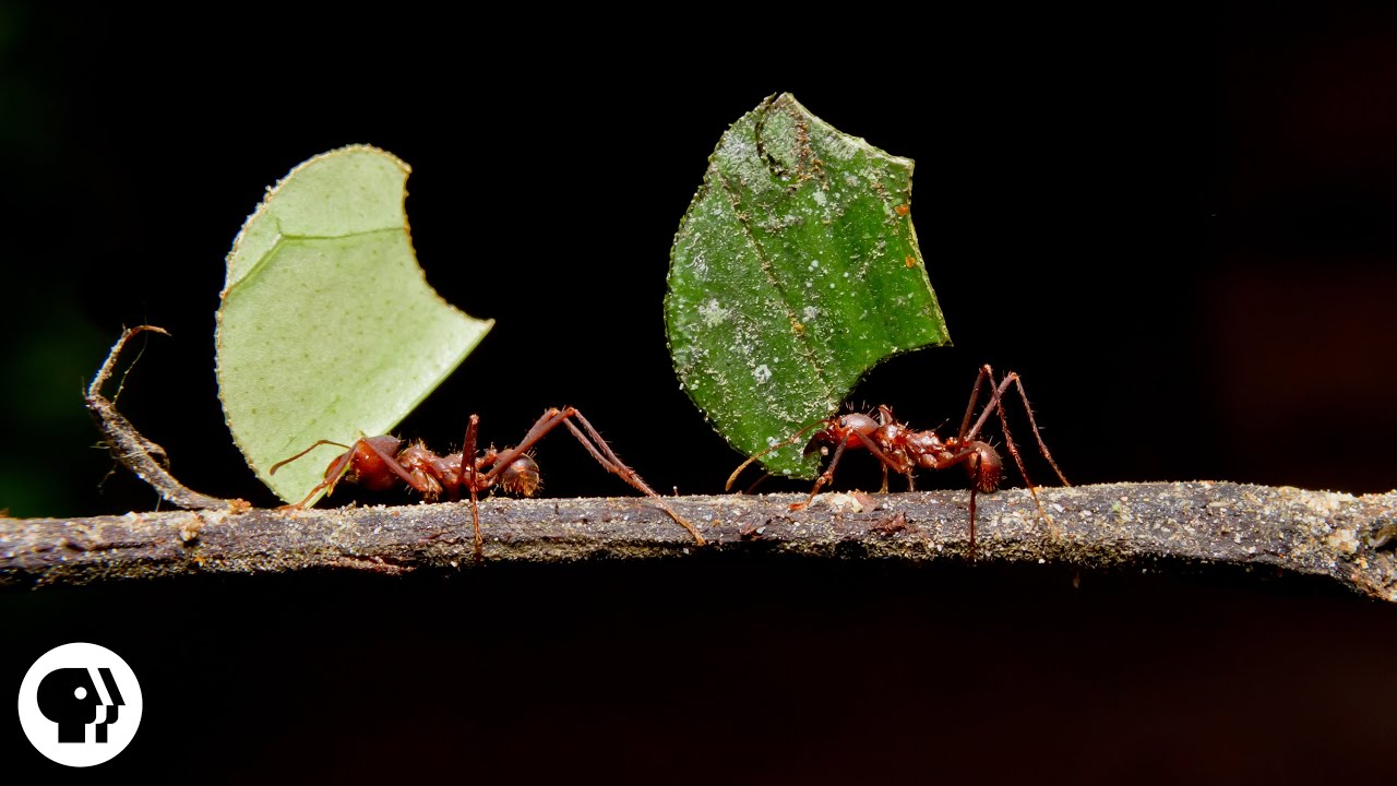 Ants and fungus