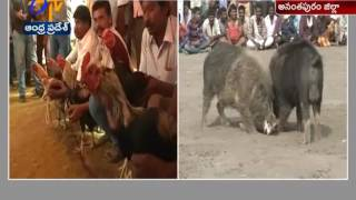 Pig Fight Competitions Held in Tadipatri of Anantapur