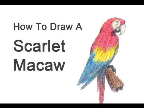 macaw drawing step by step - photo #34