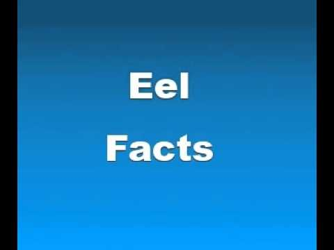 Eel Electrics Facts Eel Facts Facts About Eels