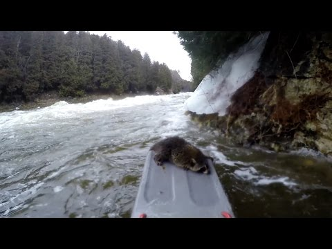 ボードで川下りをしていると岸に野生のアライグマが立ち往生。威嚇する所を救助する