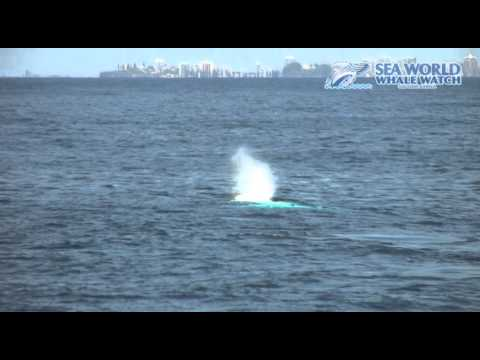 Migaloo Shares His Magic on the Gold Coast - Sea World Whale Watch