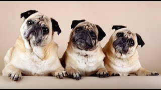 Funny Dogs - Lovely Puppies - A Funny Dogs Videos Compilation 2019