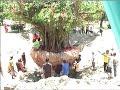 Dok Humas Untad, Pemindahan Pohon Angker di Universitas Tadulako
