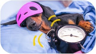 Dog morning routine! Funny dachshund video!