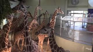 Giraffes in Cheyenne Mountain Zoo