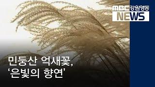 투R]민둥산 억새꽃, '은빛의 향연'